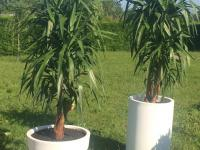 Deux Yuccas d'intérieur dans leurs pots blancs très contemporains.